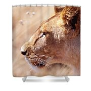 Lioness Staring Intently At Passing Shower Curtain