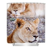 Lionesses Lying In Shade In Maasai Mara Shower Curtain