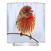 Little Beauty Male Finch I Shower Curtain
