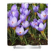 Little Purple Crocuses Shower Curtain