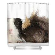Long-haired Guinea Pigs Shower Curtain