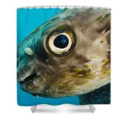 Long-spine Porcupinefish Diodon Shower Curtain