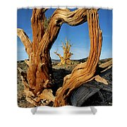 Looking Through A Bristlecone Pine Shower Curtain