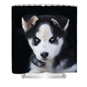 Lop Eared Siberian Husky Puppy Shower Curtain