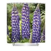 Lupine Lupinus Sp Sea Horse Variety Shower Curtain