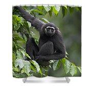 M�llers Bornean Gibbon Hylobates Shower Curtain