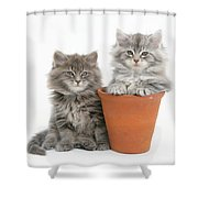 Maine Coon Kitttens Shower Curtain