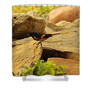 Male American Redstart On The Rocks Shower Curtain