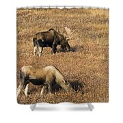 Male And Female Moose Alces Alces In Shower Curtain