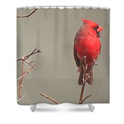 Male Cardinal On A Branch Shower Curtain