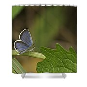 Male Eastern Tailed Blue Butterfly 3063 Shower Curtain