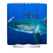 Male Great White Shark And Pilot Fish Shower Curtain