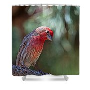 Male House Finch Shower Curtain