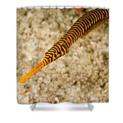 Male Yellow Banded Pipefish Carrying Shower Curtain