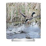 Mallard Duck Flying Shower Curtain