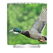 Mallard Duck In Flight Shower Curtain