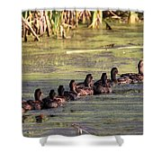 Mallard Ducks In A Row Shower Curtain