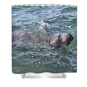 Manatee At Ponce Inlet Shower Curtain
