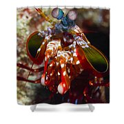 Mantis Shrimp, Australia Shower Curtain