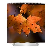 Maple Leaves In The Fall In Middlebury Shower Curtain