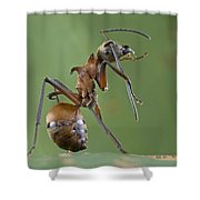 Marauder Ant Polyrhachis Sp Cleaning Shower Curtain