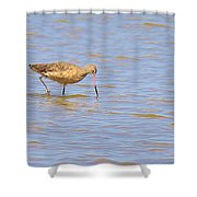 Marbled Godwit Searching For Food Shower Curtain
