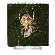 Marbled Orb Weaver Spider Eating Shower Curtain