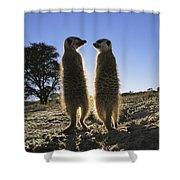 Meerkats Start Each Day With A Sunbath Shower Curtain