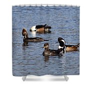 Mergansers After The Rain Shower Curtain
