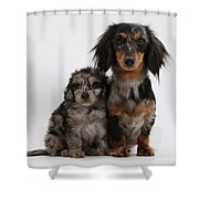 Merle Dachshund And Doxie Doddle Pup Shower Curtain
