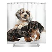 Merle Dachshund Pups Shower Curtain