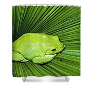 Mexican Giant Tree Frog Pachymedusa Shower Curtain