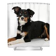 Mini American Shepherd Shower Curtain