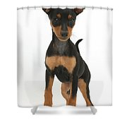 Miniature Pinscher Puppy Shower Curtain