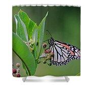 Monarch On Milkweed Shower Curtain