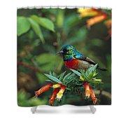 Montane Double-collared Sunbird Shower Curtain