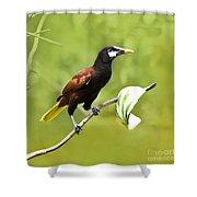 Montezuma Oropendula - Dp Shower Curtain