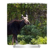 Moose Baxter State Park 4 Shower Curtain