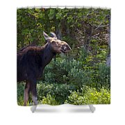 Moose Baxter State Park Maine 3 Shower Curtain
