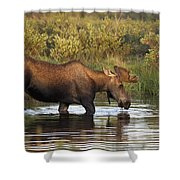 Moose Drinking In A Pond, Tombstone Shower Curtain