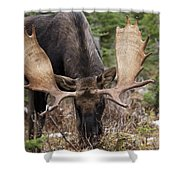 Moose. Male Feeding In A Forested Area Shower Curtain