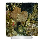 Moray Eel, Belize Shower Curtain