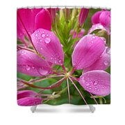 Morning Dew On Pink Cleome Shower Curtain