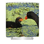 Mother Common Gallinule Feeding Baby Chick Shower Curtain