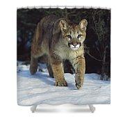 Mountain Lion Felis Concolor Idaho, Usa Shower Curtain
