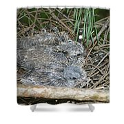 Mourning Dove Chicks Shower Curtain