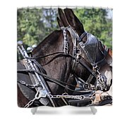 Mule Days - Benson - A Pair Of Aces - Mules Shower Curtain