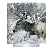 Mule Deer Odocoileus Hemionus In Snow Shower Curtain