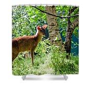 Muntjac Deer - Muntiacus Reevesi Shower Curtain