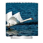 Mute Swan Gaining Momentum Shower Curtain